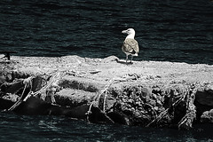 Visitor... (Constantinos_A) Tags: monochrome sony alpha a6300 outdoors sea rock dock seagull