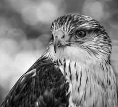falcon (MAICN) Tags: raubvogel square quadratisch vogel mono tier sw natur animal falke bw blackwhite monochrome falcon schwarzweis greifvogel wildlife 2018 einfarbig raptor bird nature