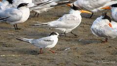 H2) Common Tern with some Elegant Tern friends (Bob Gunderson) Tags: eleganttern aerialwaterbirds birds california commontern crissyfield northerncalifornia presidio sanfrancisco sternahirundo terns