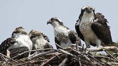 Osprey birds -  Fort Monroe Va (watts_photos) Tags: osprey birds fort monroe va bird ospreys nest