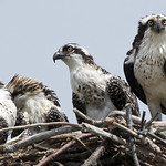 Osprey birds -  Fort Monroe Va thumbnail