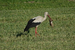 White Stork with a meal (alex_7719) Tags: bird whitestork stork belarus feeding ciconiaciconia белыйаист аист animal птица беларусь белоруссия