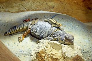 plavorepi rovaš (Trachylepis margaritifera / Blue-tailed Skink / Regenbogenskink) / južnosaharska bodljorepa agama (Uromastyx dispar / Sudanese Spiny-tailed Lizard / Südsaharische Dornschwanzagame)