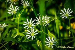 Stellaria graminea (Salmix_ie) Tags: flowers blooms blossom colors nikon nikkor d500 karvat oravais finland june 2018