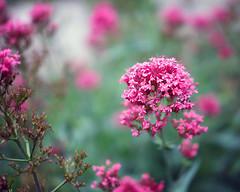 Summer Begins (HJharland5) Tags: flower macro park garden red green summer fuji petal leaf leaves pink arboretum cleveland ohio