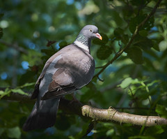 Wood Pigeon (Hector Patrick) Tags: britnatparks capture1pro flickrelite yorkshire wildlife rosedaleabbey pentaxk1 northyorkshire nature pentaxda300f4 pentax pigeon birds naturaleza outdoors july long