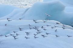Arctic Terns on iceberg, Iceland (Paul Miguel) Tags: icelandphotographytour birdphotographytour arcticterns wildlife birds ice iceberg cold flock jokulsarlon icelagoon
