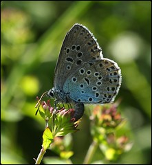 Large Blue (glostopcat) Tags: largebluebutterfly butterfly insect invertebrate summer june macro glos danewaybanks sapperton gloucestershirewildlifetrust wildthyme wildflower