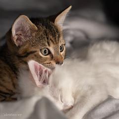 """""""Moustache"""" aux aguets (christian.rey) Tags: chats katz cats châtons flashs déportés sony alpha a7r2 a7rii 70200 animaux animal domestique"""