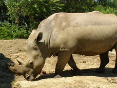 White rhinoceros (Ceratotherium simum) (Sasho Popov) Tags: animal rhinoceros nature