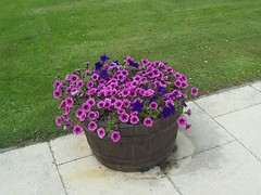 Petunia's, Logie, Moray, June 2018 (allanmaciver) Tags: petunia purple whisky barrel moray logie scotland delight enjoy admire allanmaciver