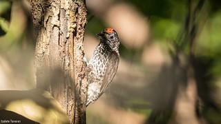 pica-pau-anão-escamado (Picumnus albosquamatus)