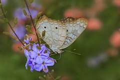 Anartia jatrophae (Rui Pará) Tags: anartiajatrophae anartia jatrophae abaetetuba pará brazil amazon amazônia butterfly borboleta canon macro closeup