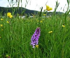 Orchids and Wild Flowers. (jenichesney57) Tags: grass orchids common land r6ad poolbrook worcestershire panasonic lumix orchid