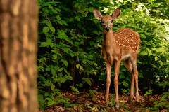 Pleased to Meet You (Goromo) Tags: whitetaileddeer deer fawn spots tiny woods forest