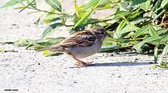 J78A0133 (M0JRA) Tags: birds flight flying wildlife rats walks gardens parks fields trees lakes ponds ducks swans rspb