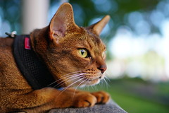 Lizzie in the park (DizzieMizzieLizzie (Down for a while)) Tags: abyssinian aby lizzie dizziemizzielizzie portrait cat feline gato gatto katt katze kot meow pisica sony neko gatos chat a6500 fe ilce6500 ilce 2018 bokeh pet animal dof sigma 35mm f14 dg hsm | art 018