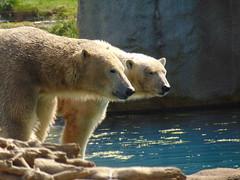 IJsberen Todz & Sizzel. (Loekje19) Tags: ijsberen todz sizzel