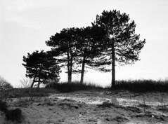I modlys (holtelars) Tags: pentax 645 pentax645 645n 6x45 smcpentaxfa 4585mm f45 120 film 120film foma fomapan fomapan100 fomapan100professional 100iso mediumformat analog analogue blackandwhite classicblackwhite bw monochrome filmforever ishootfilm filmphotography xtol homeprocessing larsholte beach denmark danmark nivå nivåstrand trees backlit
