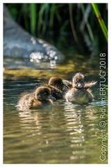 Tufted Duck Ducklings - Aythya fuligula (R ERTUG) Tags: tuftedduckducklings aythyafuligula nikkor200500mmf56eafsed nikond610fx wildlifephotography birdphotography bradgatepark rertug ertug