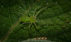green lynx (dustaway) Tags: arthropoda arachnida araneae araneomorphae oxyopidae greenlynxspider australianspiders lismore northernrivers nature nsw australia peucetia