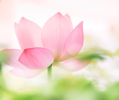 Stairway to Heaven (Tomo M) Tags: flower bokeh blur pink lotus heaven anotherworld nature summer dream soft dreamy pastel