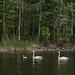 Família de cisnes