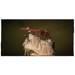 Red Dragonfly. #photography #photooftheday #photoadaychallenge #canon7d #sigma150600 #dragonfly #red #project365 #yeg #opcmag #edmonton (PSKornak) Tags: photography photooftheday photoadaychallenge canon7d sigma150600 dragonfly red project365 yeg opcmag edmonton