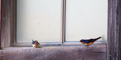 Peeping Barn Swallows (Scott Severn) Tags: don edwards wildlife refuge barn swallows