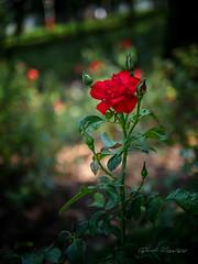 Gül (Red Rose) (Basri Koçyiğit) Tags: eminönü çiçek fatih istanbul turkey türkiye all rights reserved olympus em5markii leicadgsummilux25f14