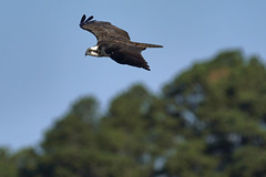 _A734986 (bram-sowers) Tags: sonyfe2470gm sonyfe100400mmgm sonya7riii warsawvirginia rappahannockriver eagle osprey tycho chez