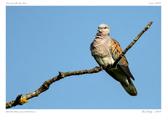 Tourterelle des bois (BerColly) Tags: france auvergne puydedome oiseau bird tourterelledesbois branche branch bercolly google flickr