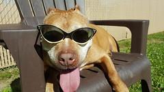 MJ, a cool cat! (DDA1) Tags: saveapetilorg adoption adoptionshelter adoptioncenter adoptable adopt nokill coolcat sunglasses pitbullmix doggiesmile doggietongue dog outdoor relaxing summer