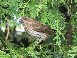 Purple Finch (Carpodacus purpureus)(Female)