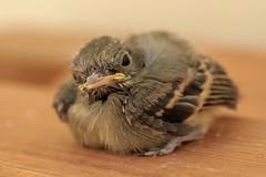 Baby Bird (qorp38) Tags: baby bird