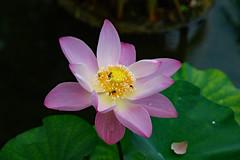 Lotos Flower! (Uhlenhorst) Tags: 2013 indonesia indonesien bali plants pflanzen flowers blumen blossoms blüten travel reisen coth coth5 ngc npc