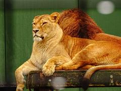 Isolde & Simba00008 (Rasenche) Tags: animal carnivore cat mammal bigcat annapaulowna stichtingleeuw lion