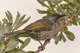 the nectar hunters - a little wattlebird #1