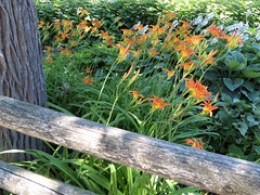 Chicago, LIncoln Park Zoo,  Orange Day Lilies with Blooming Hostas (Mary Warren 11.2+ Million Views) Tags: chicago lincolnparkzoo nature flora wood fence tree trunk plants orange green foliage leaves white blooms blossoms flowers daylily hostas