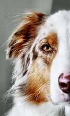 Atlas (vroberg) Tags: australianshepherd redmerle aussie dog