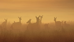 Hinds and fawns as day dawns (Hammerchewer) Tags: reddeer deer hinds fawns wildlife animal outdoor sunrise mist