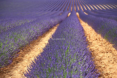 IMG_4155 (肉拉) Tags: valensole lavender france provence