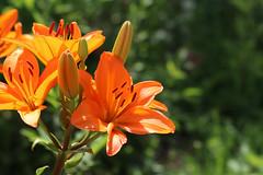 Summer flowers (Attolrahc) Tags: canoneos80d sigma100400mmf563dgoshsm sigma summer nature naturephotography naturecloseup naturelover finland finnishnature flower flowers summerflowers summerflower