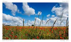 La Limagne (BerColly) Tags: france auvergne puydedome limagne paysage landscape champs fields fleurs flowers coquelicots poppies ciel sky nages clouds bercolly google flickr