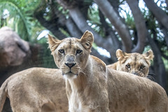 We are not amused (Paul Wrights Reserved) Tags: lion lions lioness mammal mammals queen queens stare angry looking lookingatthecamera
