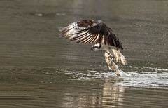 Osprey Catching Fish (MiriamPoling) Tags: grand tetons osprey fish catching jackson hole wy national park