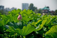 L1011304 (Camera Freak) Tags: 180716uenom10 m10 leica ueno tokyo lotus shinobazu july 2018