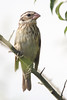 Rosreasted Grosbeak e-bA53F2039 (~ Michaela Sagatova ~) Tags: dundasvalley birdphotography canonphotography female michaelasagatova rosebreastedgrosbeak
