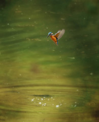 1S9A5897 (saundersfay) Tags: kingfisher hoveringwaterbirdiredescent