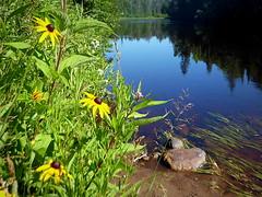 Wildflowers along the Escanaba River (yooperann) Tags: blackeyed susan milkweed escanaba river still quiet marquette county upper peninsula michigan summer reflections